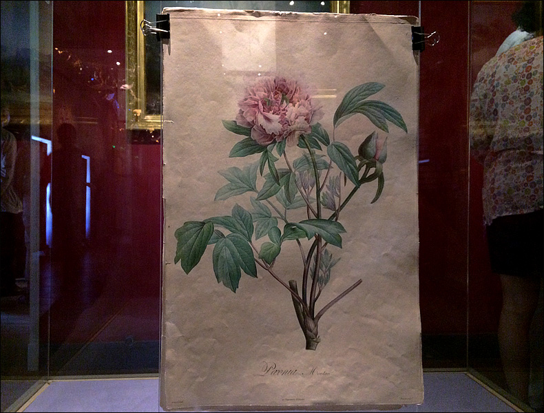 Botanical drawing made for Josephine; pic: Cynthia Rose